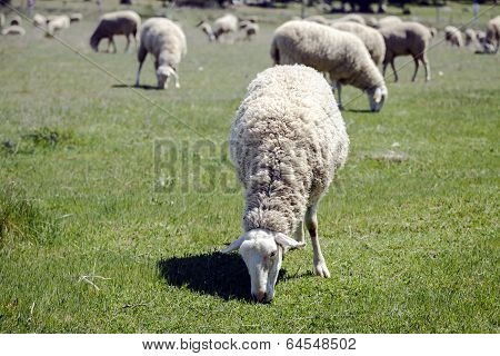 Sheep Grazing Pasture Eating