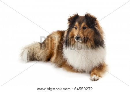 Shetland sheepdog isolated on white background