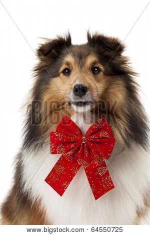 Close-up of shetland sheepdog wearing red bow