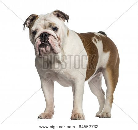 English Bulldog standing (8 months old)