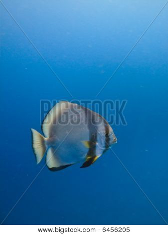 Angelfish Swimming on Great Barrier Reef Australia