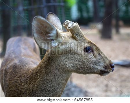 Indian Hog Deer with the cut-off horns.