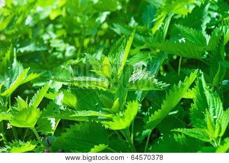 Green nettle plants