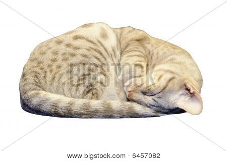 Ocicat Kitten Sleeping With Clipping Path