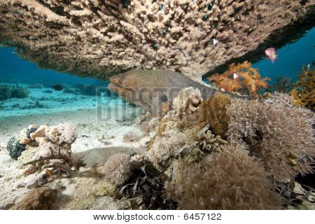 Giant Moray And Coral