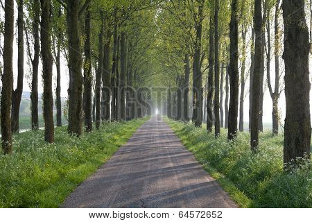 Sunny Way In Tree Tunnel