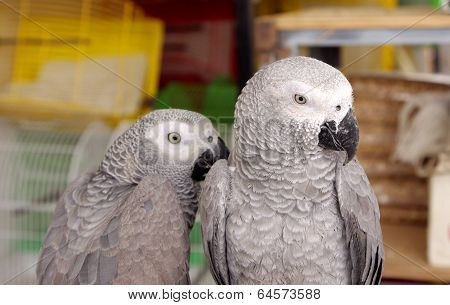 Closeup of African Grey parrots