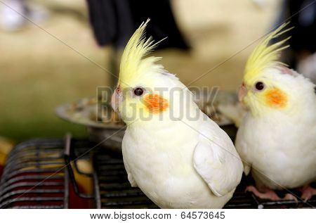 White and pale yellow Lutino cockatiel