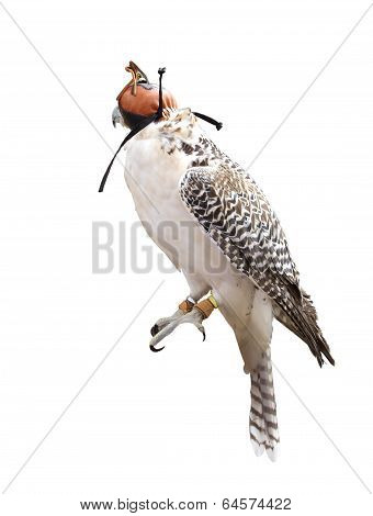 A beautiful falcon isolated on white