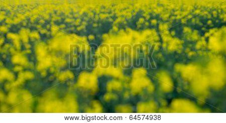Defocused Image Of A Rapeseed Field Background