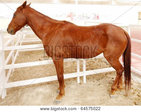 A beautiful brown arabian horse