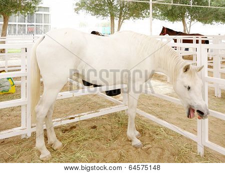 A beautiful white arabian horse