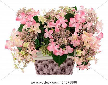 Hydrangea In Basket