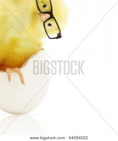 Cute little chicken in black eye glasses coming out of a white egg isolated on white background
