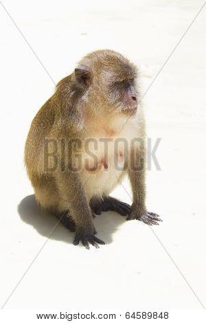 Monkey On White Sand