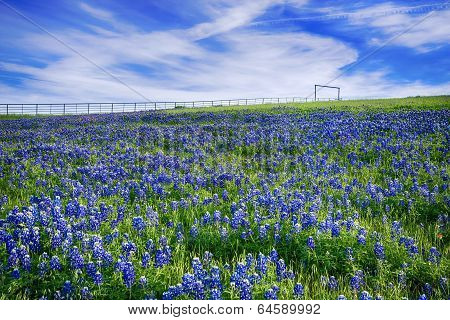 Texas Bluebonnet Field In Bloom