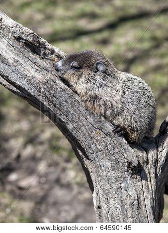 Woodchuck or Ground hog