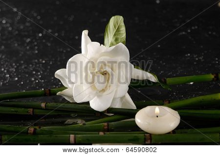 gardenia flower with thin bamboo grove on wet background