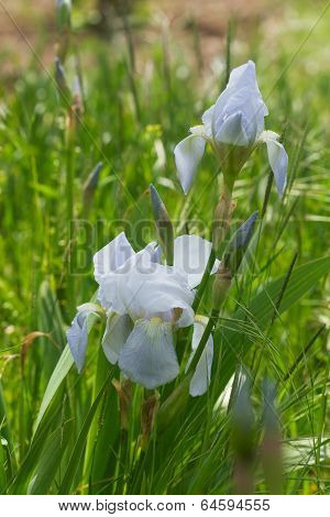 Beautiful Light Blue Iris Flower