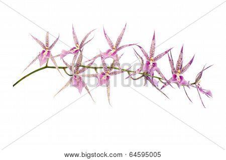 cymbidium  orchid isolated on white background