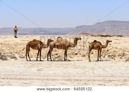 Dromedaries On The Beach, Taqah (oman)