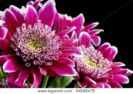 Close up image of dark pink chrysanthemum