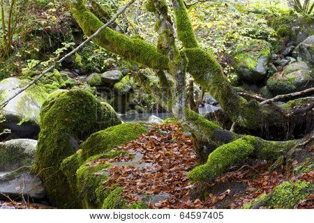 Lush forest in Valley of Aspe, Pyrenees, France