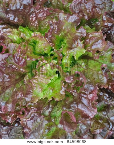 Foliage Salad Background