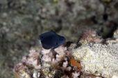 stock photo of damselfish  - black damselfish taken in the Red Sea - JPG