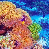 foto of clown fish  - Clown fish swimming in coral garden - JPG