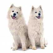 stock photo of laika  - two Samoyeds in front of white background - JPG