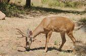 image of black tail deer  - Californian Black - JPG