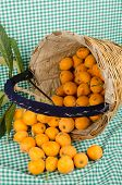 image of loquat  - A traditional harvesting basket full of freshly picked loquats - JPG