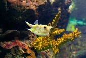 picture of longhorn  - Longhorn cowfish or Lactoria cornuta in aquarium Barcelona Spain - JPG