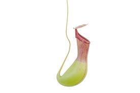 pic of nepenthes-mirabilis  - Trap flower  - JPG
