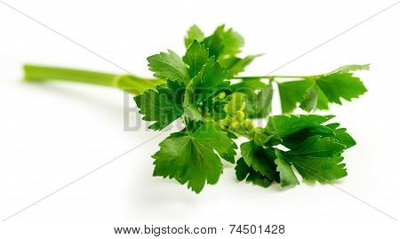 Fresh Green Celery Leaves On Stalk