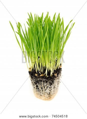 Fresh Wheatgrass Isolated On White