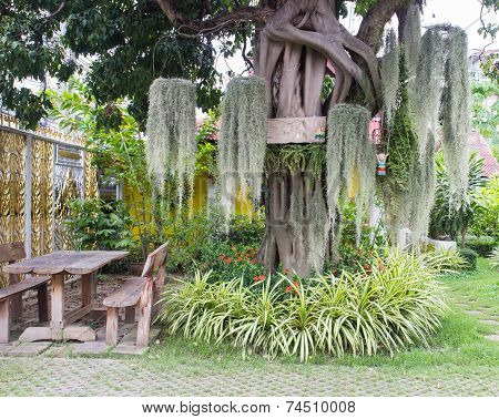 Spanish Moss Decorating On The Big Tree