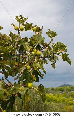 Green Fig Fruit On Tree