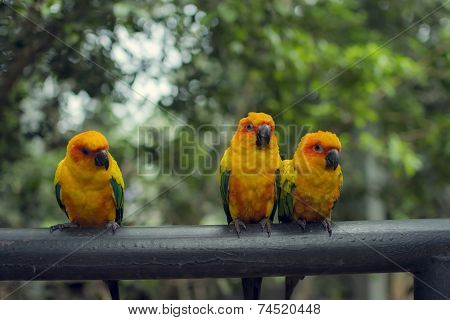 Retro pictrure beautiful parrot Sun conure(Aratinga solstitialis)