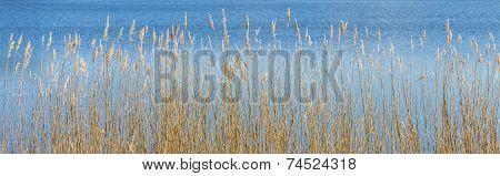 Reed Grass At The Backwater