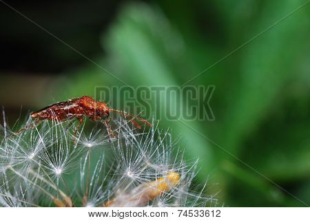 Reddish Brown Beetle On Blowball
