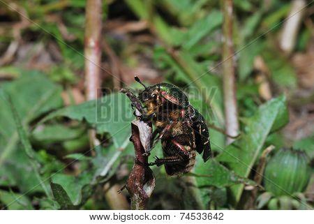 Rose Beetle On Flower Stalk