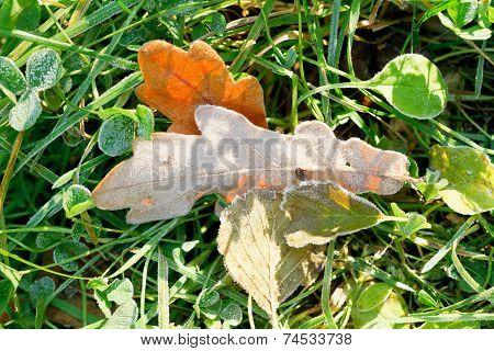 Frozen Oak Leaves In Green Grass In Autumn