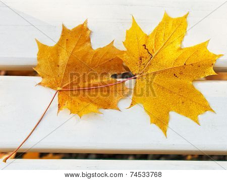 Two Fallen Maple Leaves On Bench