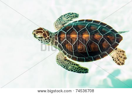 Cute Endangered Baby Turtle