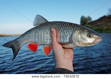 Really big chub in fisherman's hand, autumn catch