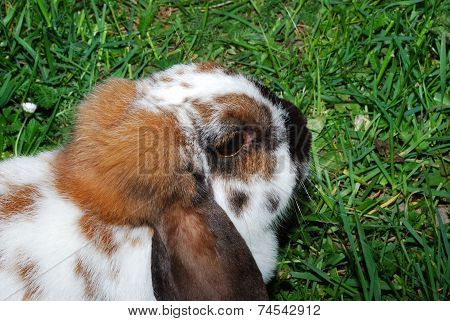 Head Of Brown Hare