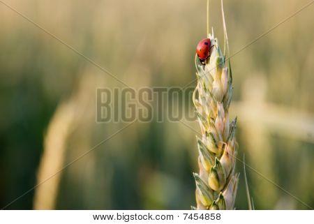 ladybird on ear