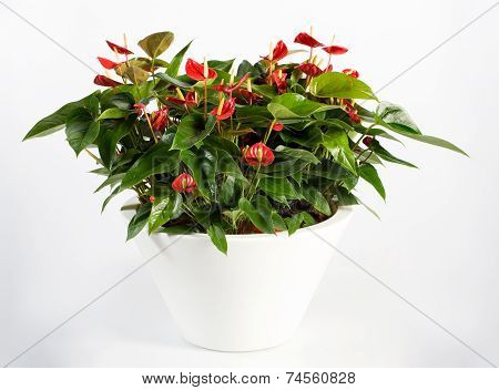 Beautiful Anthurium Flower Plant On White Pot